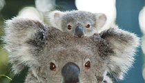 Billabong Koala and Wildlife Park - Holiday Byron Bay
